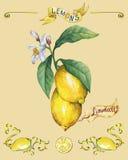 Branche du citron frais d'agrumes avec des feuilles et des fleurs de vert affiche Images stock
