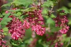 Branche du sanguineum rouge sang de floraison Pursh de Ribes de groseille Images libres de droits