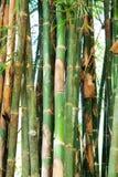 Branche en bambou dans la forêt en bambou Photos stock