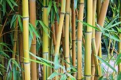 Branche en bambou dans la forêt en bambou, beau fond vert de nature Photographie stock libre de droits