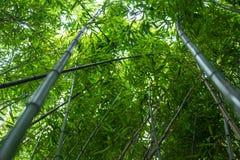 Branche en bambou dans la forêt en bambou, beau fond vert de nature Photo libre de droits