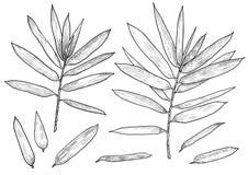 Branche en bambou, illustration de feuille, dessin, gravure, encre, schéma, vecteur illustration stock
