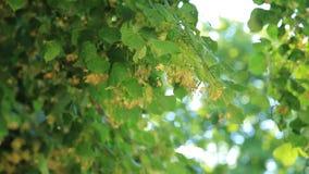 Branche en gros plan des fleurs de tilleul banque de vidéos
