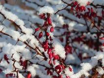 Branche ensoleillée de berberis de berbéris couverte de première neige Photos stock
