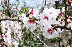 Branche fleurie d'amande Image libre de droits
