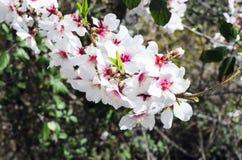 Branche fleurie d'amande Photos libres de droits