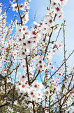 Branche fleurie d'amande Images stock