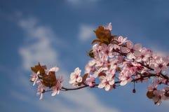 Branche fleurissante avec l'abeille et le ciel à l'arrière-plan photos stock