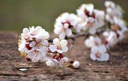 Branche fleurissante d'abricot Photos libres de droits