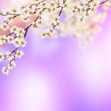Branche fleurissante d'abricot Photo libre de droits