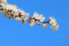 Branche fleurissante d'abricot photo stock