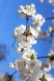 Branche fleurissante d'abricotier Photographie stock libre de droits