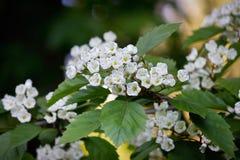 Branche fleurissante d'aubépine Image stock