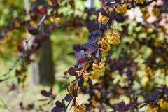 Branche fleurissante de berbéris Photos libres de droits