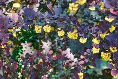 Branche fleurissante de berbéris Photos stock