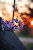 Branche fleurissante de cerise au printemps au coucher du soleil Image stock