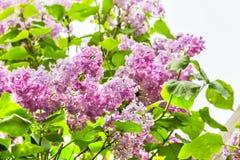 Branche fleurissante de fin de lilas, éclairée à contre-jour Image libre de droits
