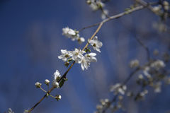 Branche fleurissante de l'arbre Photo stock