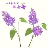 Branche fleurissante de lilas Photo libre de droits