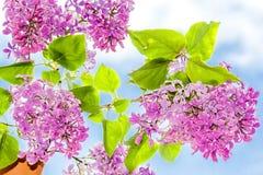 Branche fleurissante de lilas dans un plan rapproché de pot Photo stock