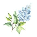 Branche fleurissante de lilas Illustration d'aquarelle d'aspiration de main Photo libre de droits