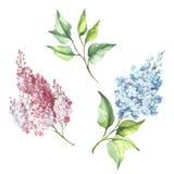 Branche fleurissante de lilas Illustration d'aquarelle d'aspiration de main Image libre de droits