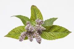 Branche fleurissante de menthe poivrée Photos stock