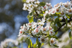 Branche fleurissante de poire Images stock