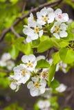 Branche fleurissante de poirier Photo stock