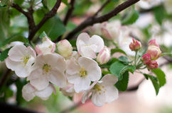 Branche fleurissante de pommier au printemps Photographie stock libre de droits