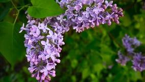 Branche fleurissante de pourpre lilas Syringa vulgaris Macro appareil-photo de charge statique de tir Slight balançant dans le ve clips vidéos