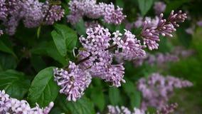 Branche fleurissante de pourpre lilas Syringa vulgaris Macro appareil-photo de charge statique de tir Slight balançant dans le ve banque de vidéos