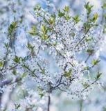 Branche fleurissante de prunier Photographie stock libre de droits