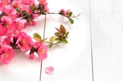 Branche fleurissante de ressort Photos libres de droits