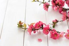 Branche fleurissante de ressort Photo libre de droits
