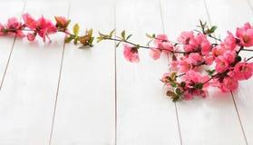 Branche fleurissante de ressort Photo stock