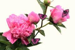Branche fleurissante des pivoines avec un papillon rose Photographie stock libre de droits
