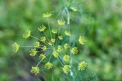 Branche fraîche d'aneth dans le jardin Image libre de droits