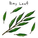 Branche fraîche de congé de Green Bay Brindille avec des lames Fond avec l'herbe aromatique Ingrédient à cuire frais Viande, soup Illustration de Vecteur
