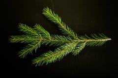 Branche fraîche verte d'arbre de Cristmas sur un fond noir Bille Images libres de droits