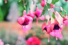 Branche fuchsia avec des fleurs, carte postale de fleurs, endroit pour le copyspace photo libre de droits