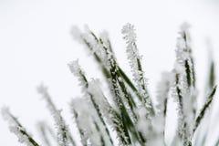 Branche givrée d'isolement de pin photos libres de droits