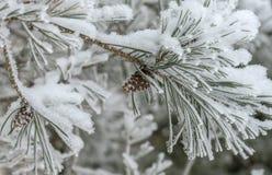 Branche impeccable avec des cônes dans la neige sur un fond blanc, hiver image libre de droits