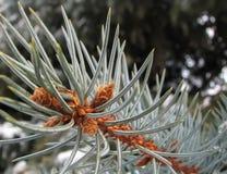 Branche impeccable bleue avec des bourgeons Photographie stock libre de droits