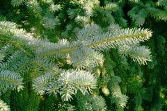 Branche impeccable dans l'ombre de sa couronne Photos stock