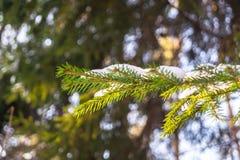 Branche impeccable dans la forêt d'hiver Image libre de droits