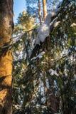 Branche impeccable dans la forêt d'hiver Images libres de droits