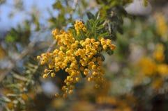Branche jaune de fleur Photo libre de droits