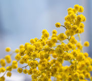 Branche jaune de floraison de mimosa Photos libres de droits