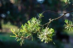 Branche juteuse de pin Aiguilles vert clair à la lumière du soleil Une branche contre un champ brouillé photographie stock